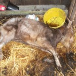 Buxted animal welfare prosecution - A goat kept by Clare Cotton was in such a poor state of health it had to be put down