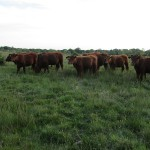 Cattle grazing returns to Ditchling Common