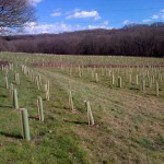 Tree planting near Marline Valley Woods, north of Hastings, as part of the environmental improvement work for the new Bexhill to Hastings Link Road