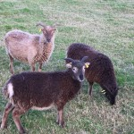 Soay sheep at Chailey Common