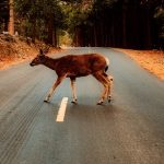 Picture of a deer on the road
